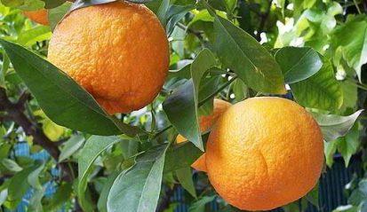 naranja-amarga (1)